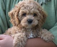 Cockapoos Breeders Registry American Cockapoo Club